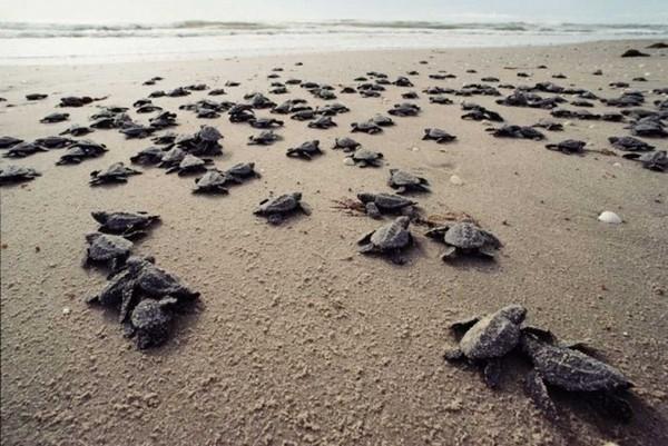 تجمع لاکپشت های جزیره هندورابی